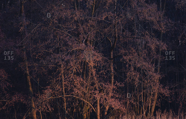 Dense trees in a forest at dusk