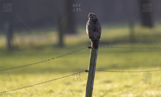 Northern goshawk perched on a fence post