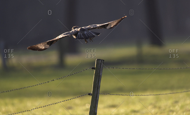 Northern goshawk taking off from a fence post