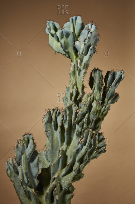 Cactus on a neutral background