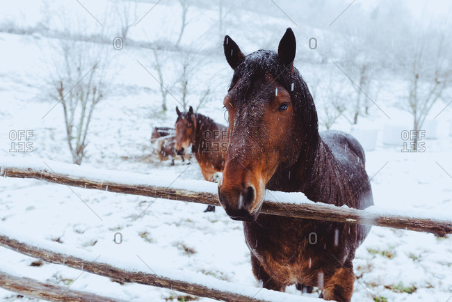 Beautiful bay horses with black manes pasturing on snow field