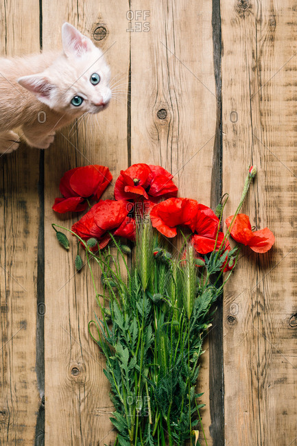 From above adorable kitten standing on wooden surface near bouquet of bright red poppies