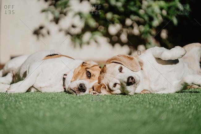 Cute beagles on lawn in yard