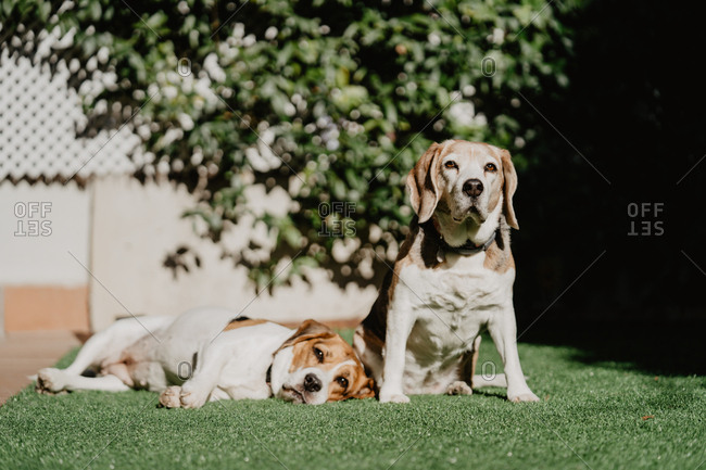 Cute beagles on lawn in yard