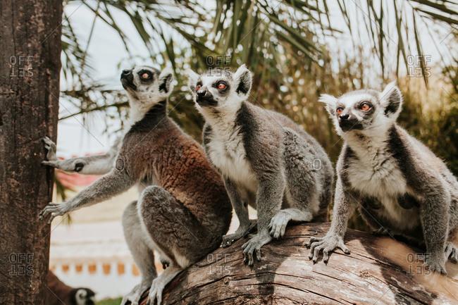 Lemur standing on tree