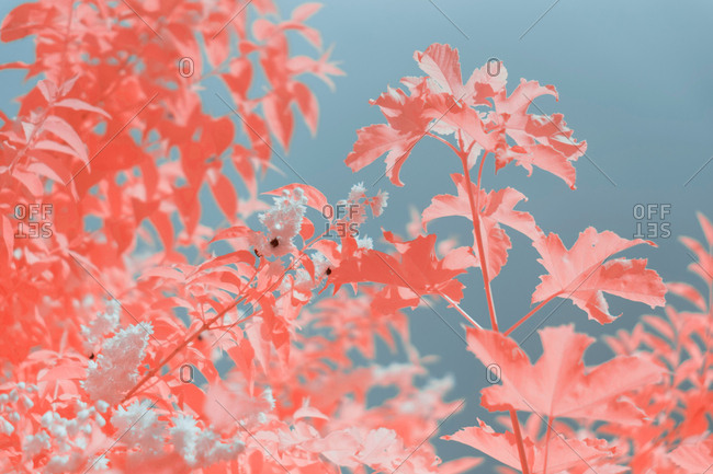 Bright infrared leaves on cute plant near