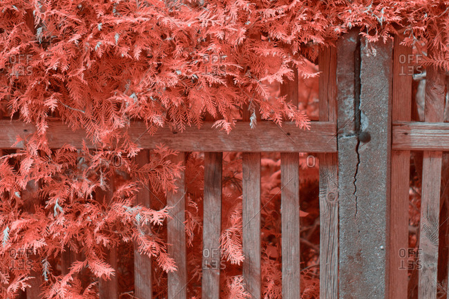Bright infrared leaves on cute plant near wooden fence on suburban street