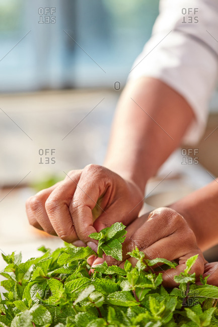 Woman's hands tear fresh natural green mint for preparing homemade tea at the kitchen table against window. Close up. Concept of preparing craft natural sweets.