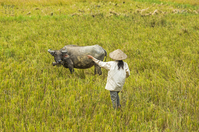 Woman with buffalo in rice paddy