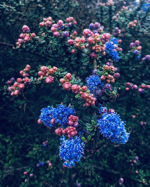 Blue mist shrub in bloom