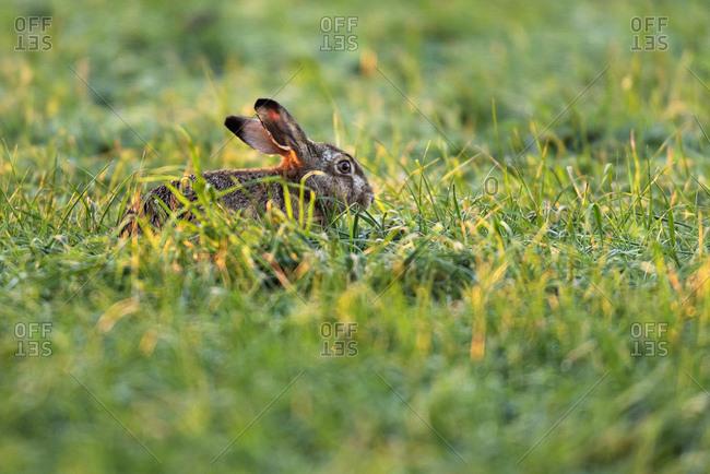 Rabbit sitting in tall green grass