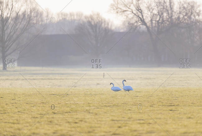 Two swans walking through foggy morning field