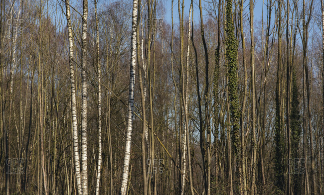 Bare trees in the woods