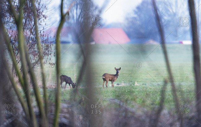 Two young male deer grazing in a field