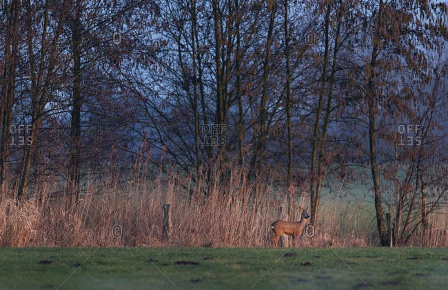 Young male deer standing at the edge of a forest