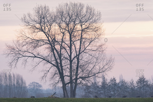 Large bare tree at sunset