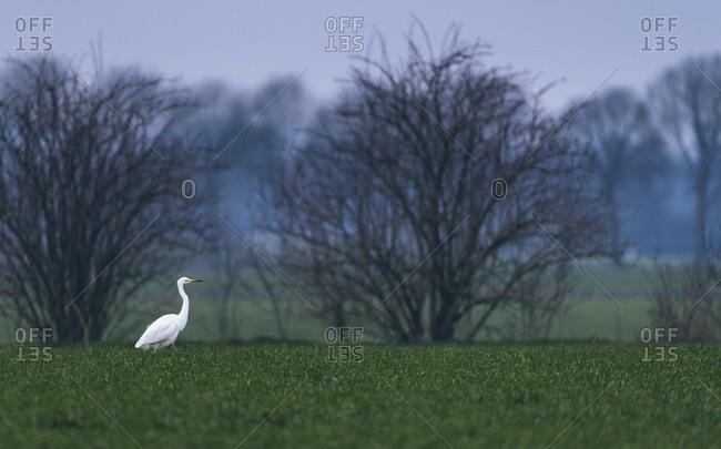 Great white egret walking through field at dawn