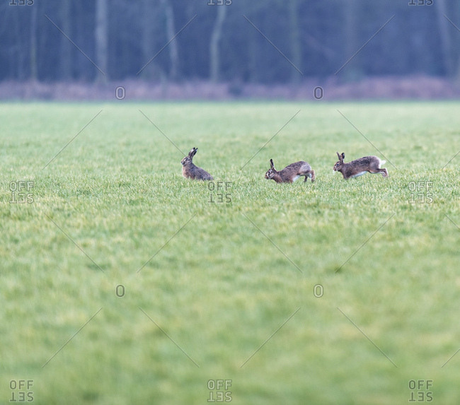 Three rabbits hopping through green field