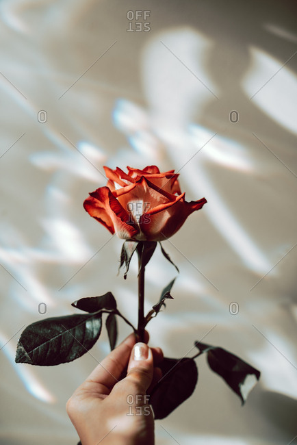 Hand holding a rose