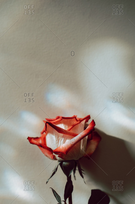 A single red and white rose