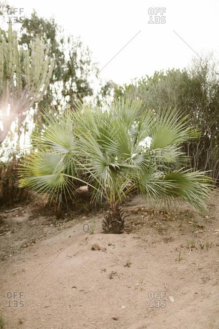Palm tree in desert garden