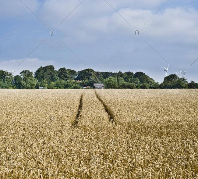 Rye field,Jutland, Denmark
