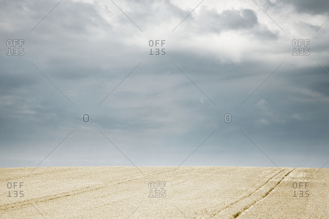 Tractor Lines in Wheat Field