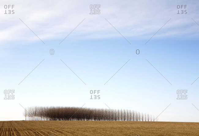 Poplar Trees in Field, Palouse, Washington