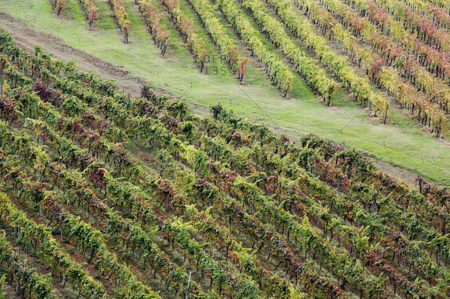 Grapevines in Fall Colors