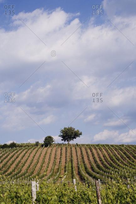 Vineyard and Lone Tree