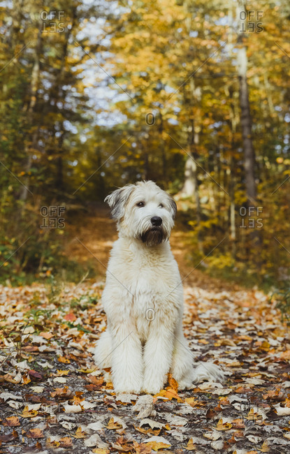 White Terrier sitting over dry leaves on footpath in forest