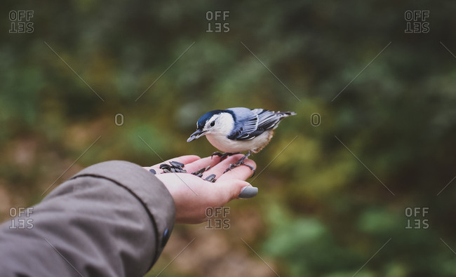 Cropped hand of girl feeding seeds to white breasted nuthatch in forest