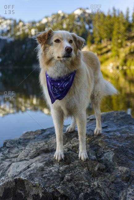 Golden Retriever standing on rock in lake against mountain during winter