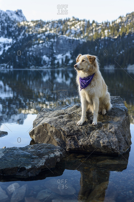 Golden Retriever looking away while sitting on rock in lake against mountain during winter