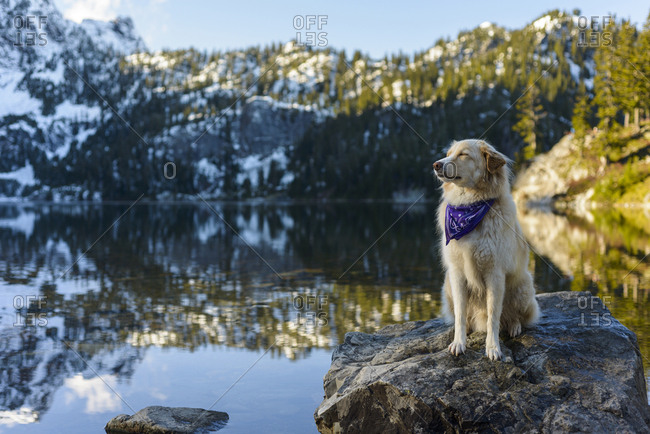 Golden Retriever with eyes closed sitting on rock in lake against mountain during winter