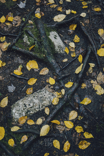 High angle view of yellow leaves on wet field during autumn