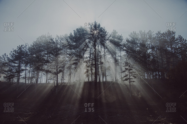 Sunbeams emitting through trees in forest against sky during foggy weather