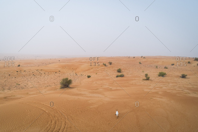 Aerial view of a single goat on desert landscape, Abu Dhabi, U.A.E