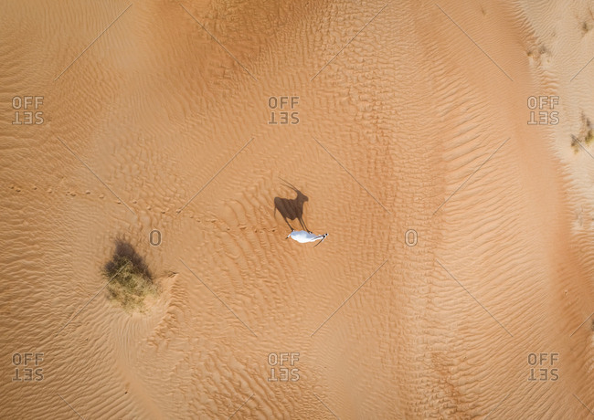 Aerial view above of a single goat on desert landscape, Abu Dhabi, U.A.E