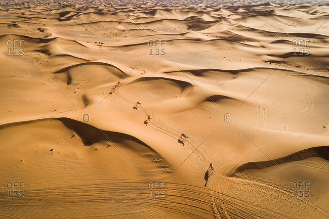 Aerial view group of camels wandering together at a desertic landscape, U.A.E.