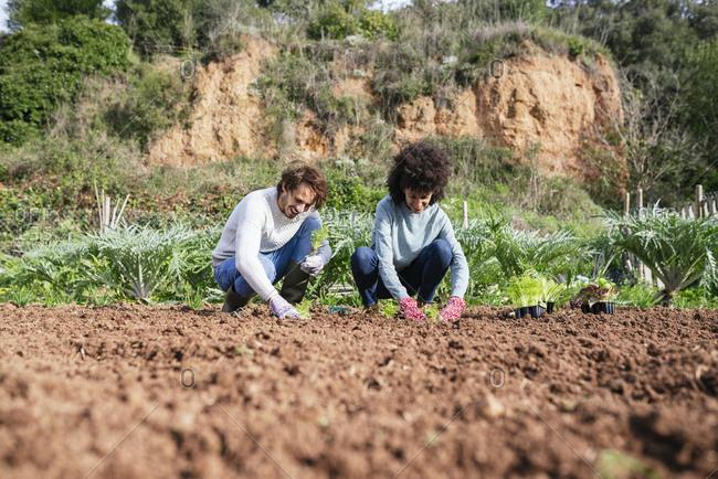 Couple planting lettuce seedlings in vegetable garden