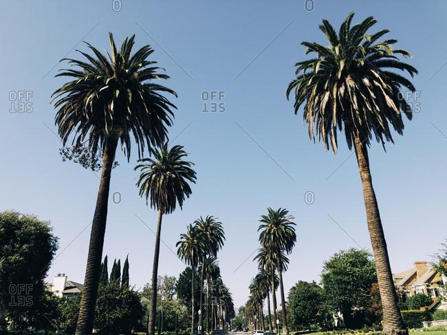 USA- Los Angeles- Palm Trees
