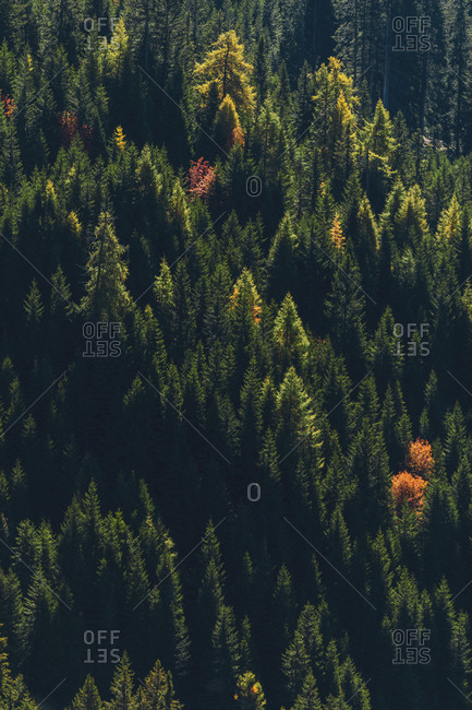 Italy- South Tyrol- Dolomites- fir trees in autumn