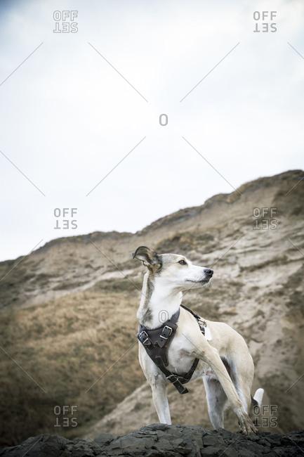 Denmark- North Jutland- Lonstrup- dog on rock