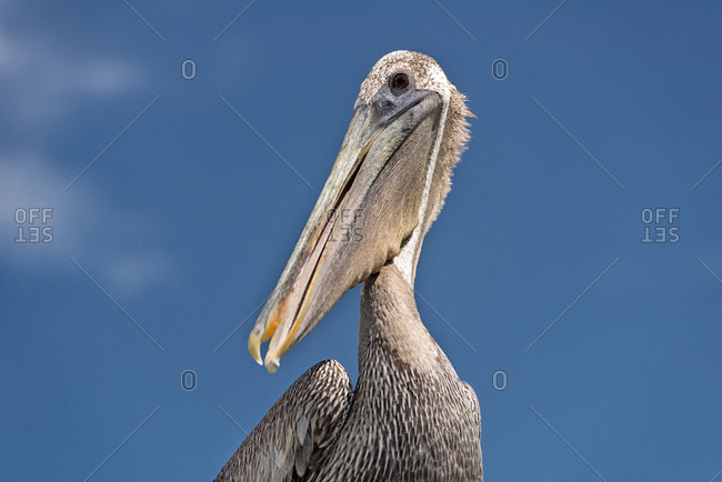 USA- Florida- Islamorada- Florida Keys- portrait of a Brown Pelican  against sky