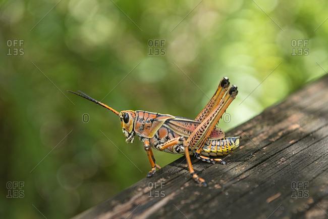USA- Florida- Copeland- Fakahatchee Strand Preserve State Park- Eastern lubber grasshopper