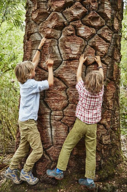 Chile- Puren- Nahuelbuta National Park- two boys climbing at an old Araucaria tree