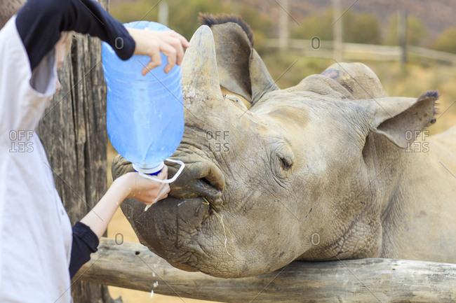 Boy giving a baby rhino water