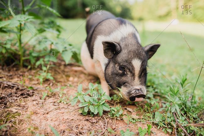 Pig walking in grass