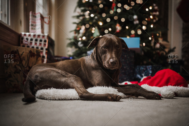 dog laying under the Christmas tree